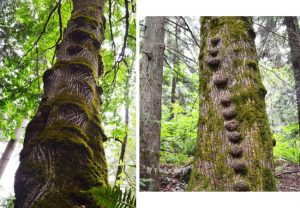 moss and knots on weowna trees