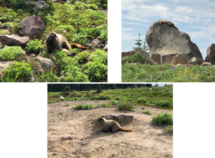 marmots on skyline trail
